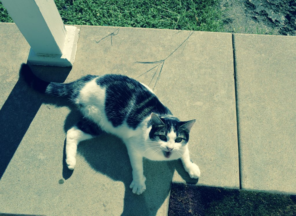 """Unrelated picture of Rosemary the three legged cat saying """"Hello"""" while I was taking pictures."""